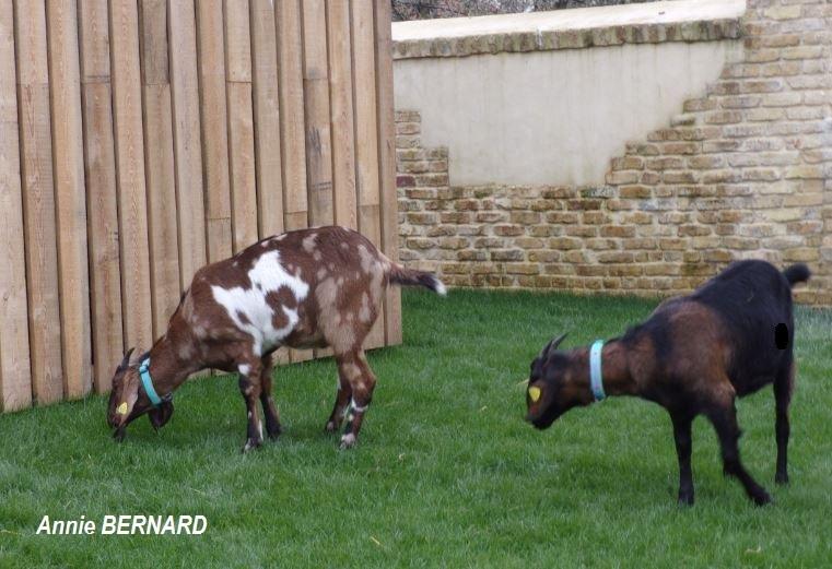 Duo de chèvre